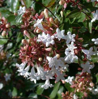 Едноцветна Абелия - Abelia grandiflora...