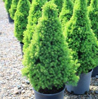Смърч с конусовидна форма - Picea abies Conica
