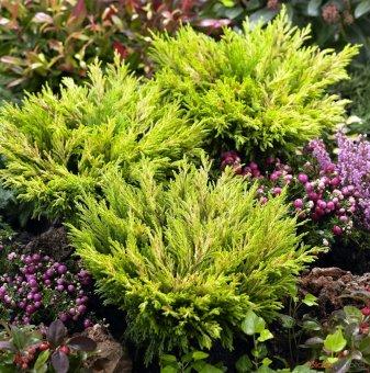 Юниперус хоризонталис Лимонов Блясък - Juniperus hor. Lime Glow..