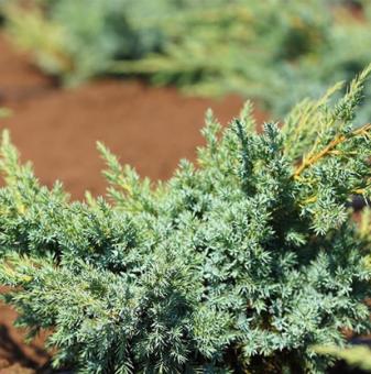 Юниперус Blue Swede-Hunnetorp - Juniperus Blue Swede-Hunnetorp..