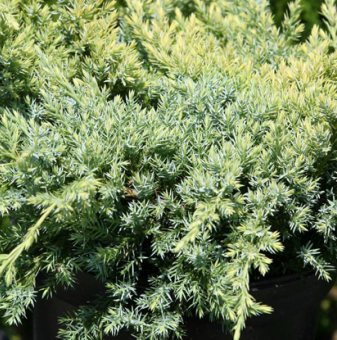 Юниперус Холгер - Juniperus squamata Holger