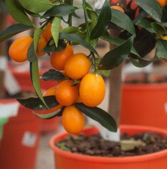 Кумкуат - Citrus kumquat...