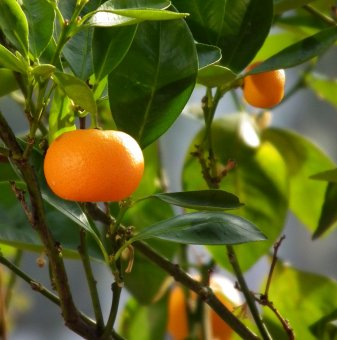 Мандарина - Citrus reticulata