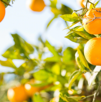 Портокал - Citrus sinensis