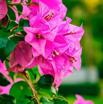 Бугенвилия розова - Bougainvillea