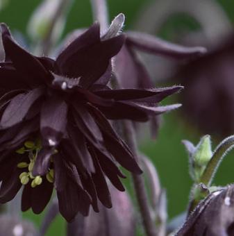 Кандилка /Аквилегия/ - Aquilegia vul. black barlow..