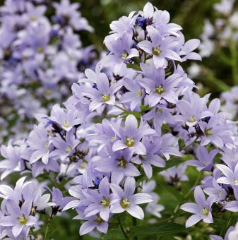 Кампанула Причардс - Campanula lactiflora Prichards..