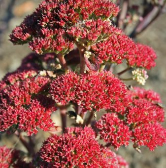 Седум Мунстийд тъмночервен - Sedum munstead dark red..