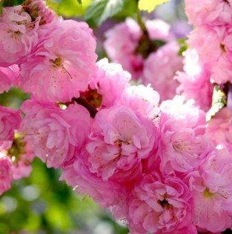 Японска слива Rosenmund - Prunus triloba Rosenmund..