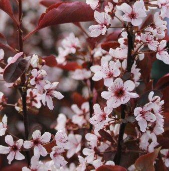 Червенолистна слива - Prunus x cistena