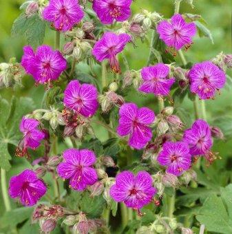 Здравец червен - Geranium sanguineum