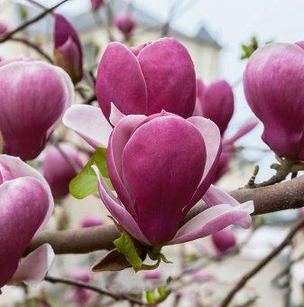 Магнолия Рустика Рубра - Magnolia RUSTICA RUBRA