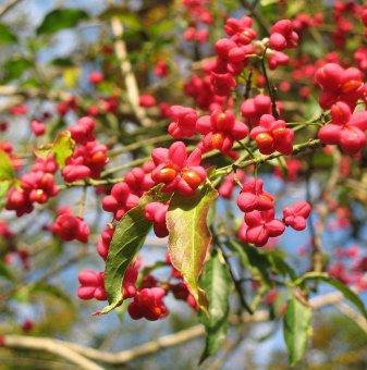 Евонимус Червена Каскада - Euonymus europaeus Red Cascade..