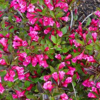 Вайгела Букет Рози - Weigela Bouquet Rose...