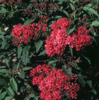 Японска спирея Dart's Red - Spiraea japonica Dart's Red..