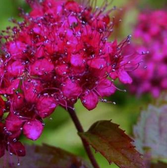 Японска спирея Anthony Waterer - Spiraea japonica Anthony Waterer..