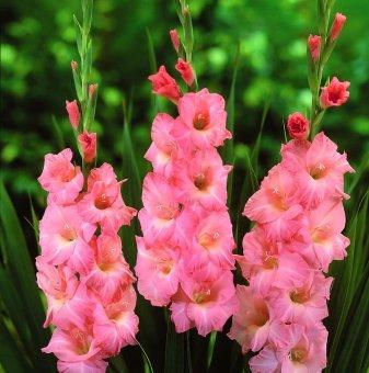 Гладиола Върховно розово - Gladioli Rose Supreme