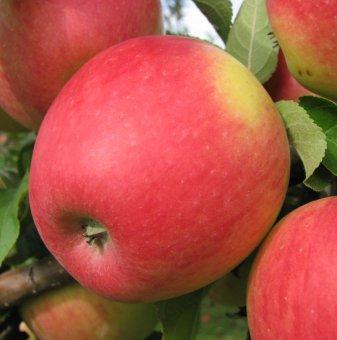 Ябълка сорт Пинова...