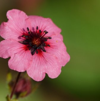 Потентила сорт Мис Уилмот - Potentilla nepalensis miss willmott..