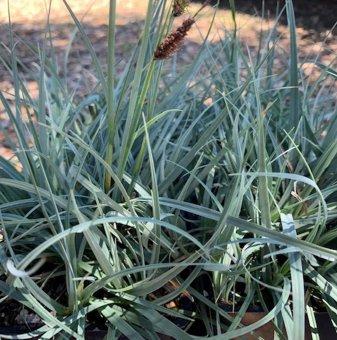 Син Карекс - Carex flacca Blue Zinger