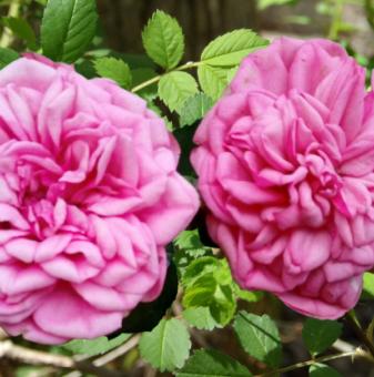 Божуреста розова роза в контейнер