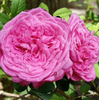 Божуреста розова едра роза в контейнер