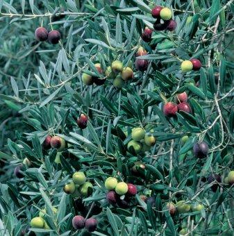 Маслина - Picual olive tree