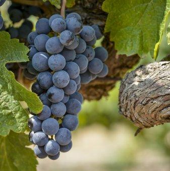 Лоза Мерло - червен винен сорт грозде в контейнер
