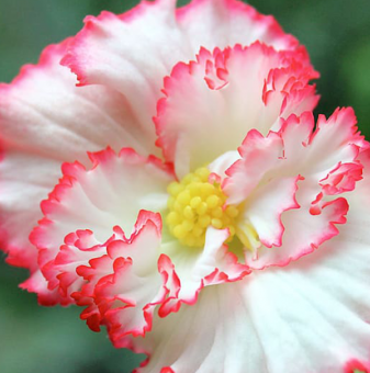 Бяла Бегония - Begonia CRISPA MARGINATA WHITE