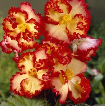 Жълта Бегония - Begonia CRISPA MARGINATA YELLOW