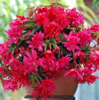 Розова Бегония - Begonia PENDULA PINK