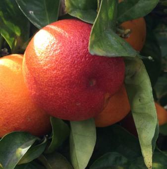 Червен портокал - Blood orange