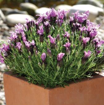 Лавандула Двуцветна - Lavender stoechas Bandera Deep Rose...