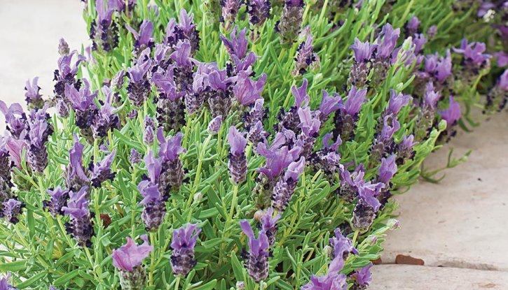 Лавандула Двуцветна - Lavender stoechas Bandera Deep Rose