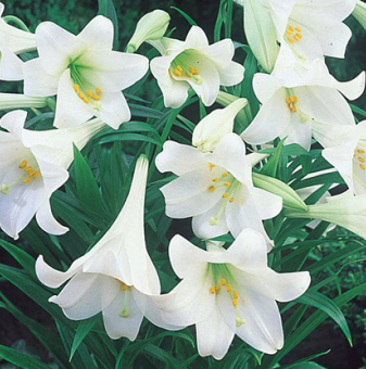 Лилиум Бял Рай - Lilies WHITE HEAVEN