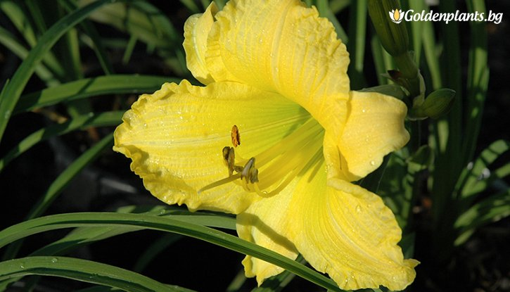 Снимка Хемерокалис Big Time Happy - Hemerocallis Big Time Happy