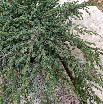 Юниперус Репанда - Juniperus communis Repanda