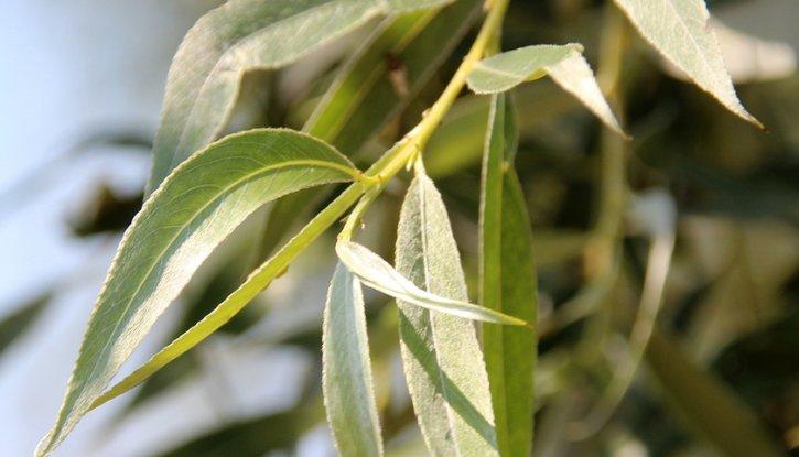 Снимка Бяла Върба - Salix alba