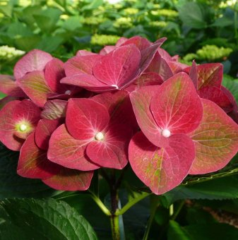 Хортензия Зелена Сянка - Hydrangea macrophylla Green Shadow..