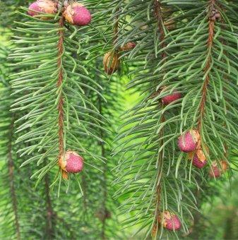 Сръбски Смърч - Picea Omorika