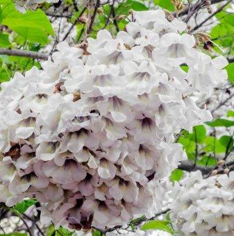 Пауловния Томентоса - Paulownia tomentosa