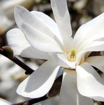 Магнолия loebneri Merrill 15-25 см. - Magnolia loebneri Merrill..