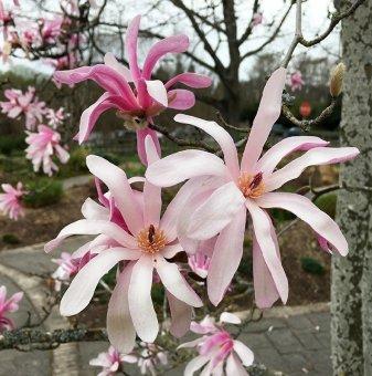 Магнолия Stellata Rosea 15-25см - Magnolia Stellata Rosea..
