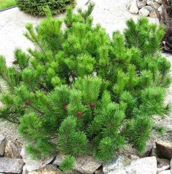 Планински бор Джудже - Pinus mugo pumilio