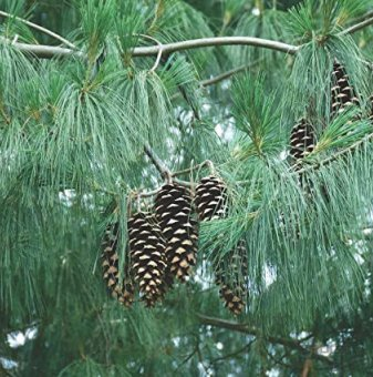 Хималайски бор - Pinus wallichiana