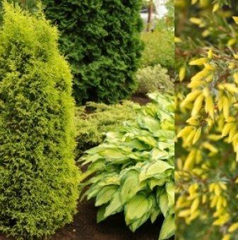 Юниперус Gold Cone - Juniperus Gold Cone
