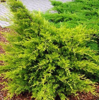 Юниперус Kuriwao Gold - Juniperus chin. Kuriwao Gold..