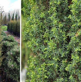 Юниперус Хиберника - Juniperus communis Hibernica