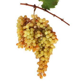 Посадъчен материал - Лоза Русалка 6 - бял безсеменен десертен сорт грозде - Ранно зреещ...