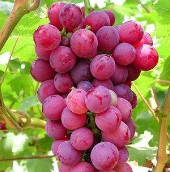 Посадъчен материал - Лоза Ребол - червено десертно, едро грозде -  средно зреещ сорт...